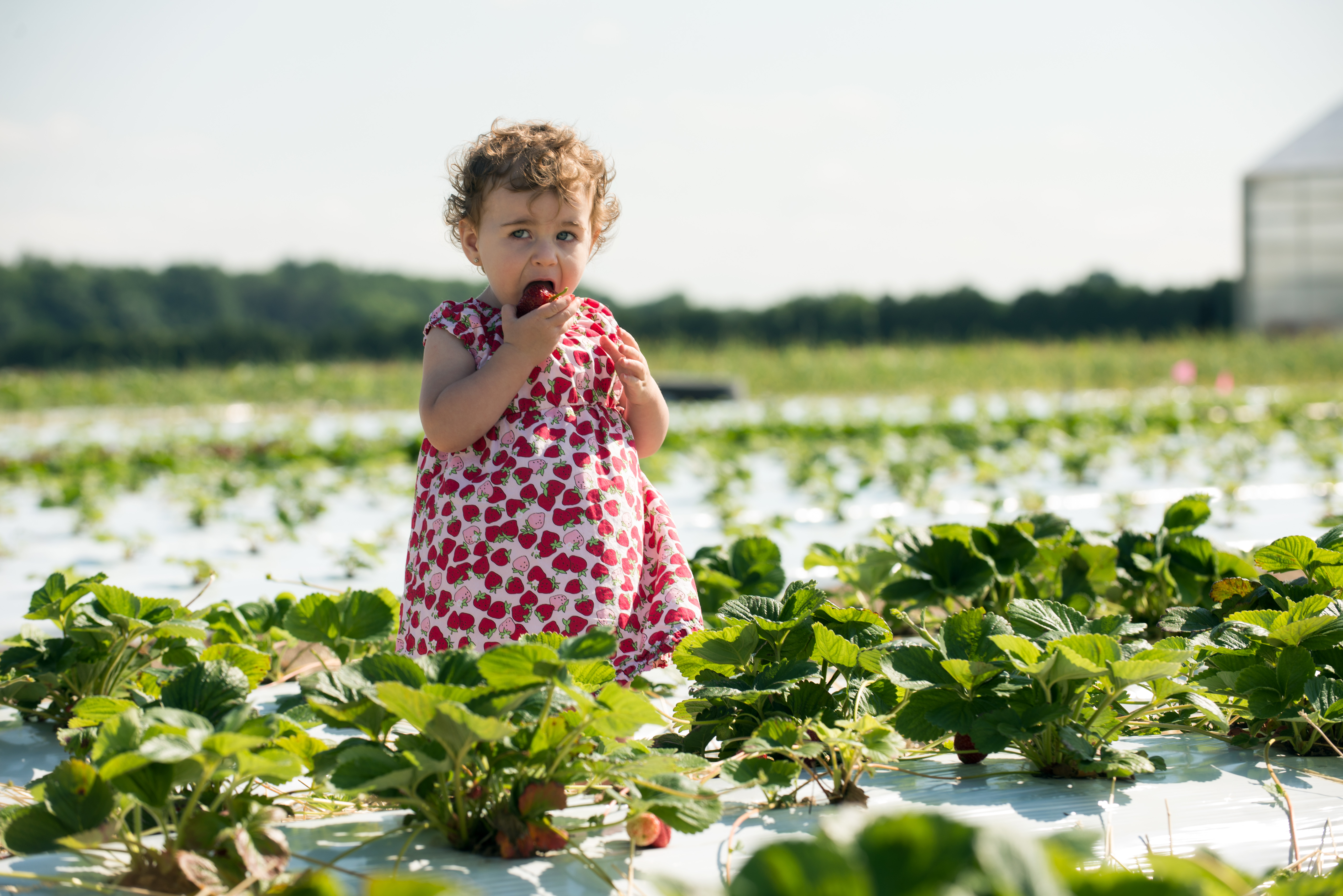 Young girl eating a strawberry