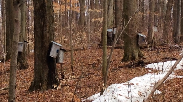 Sap buckets on trees